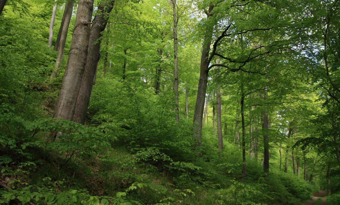Trójmiejski Park Krajobrazowy, buczyna, materiał Trójmiejskiego Parku Krajobrazowego