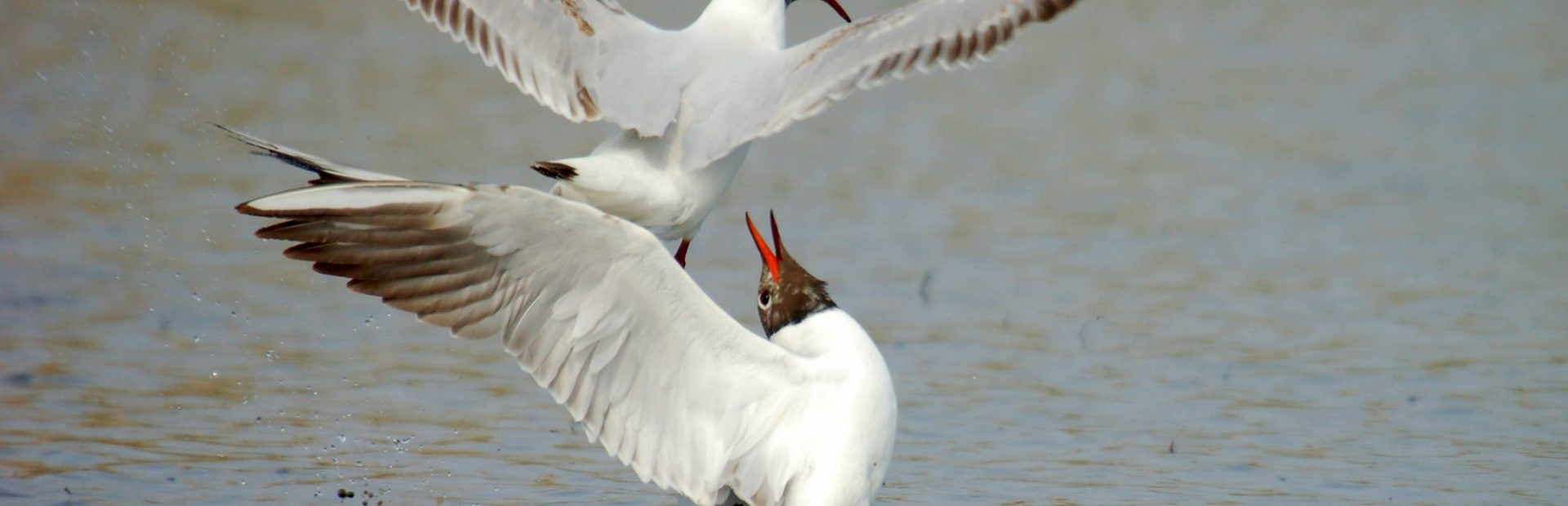 Ostoja Ujścia Wisły wraz z rezerwatami Ptasi Raj i Mewia Łacha (Birdwatching)