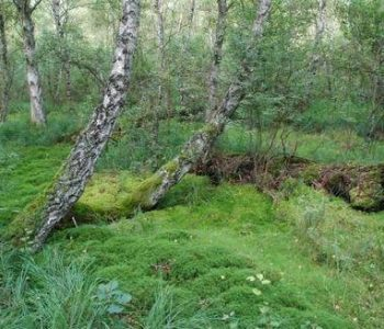 Old world royal fern in Wierzchucino