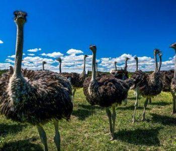 African Ostrich Farm in Garczyn